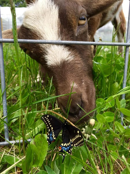 Goat eating grass and clover