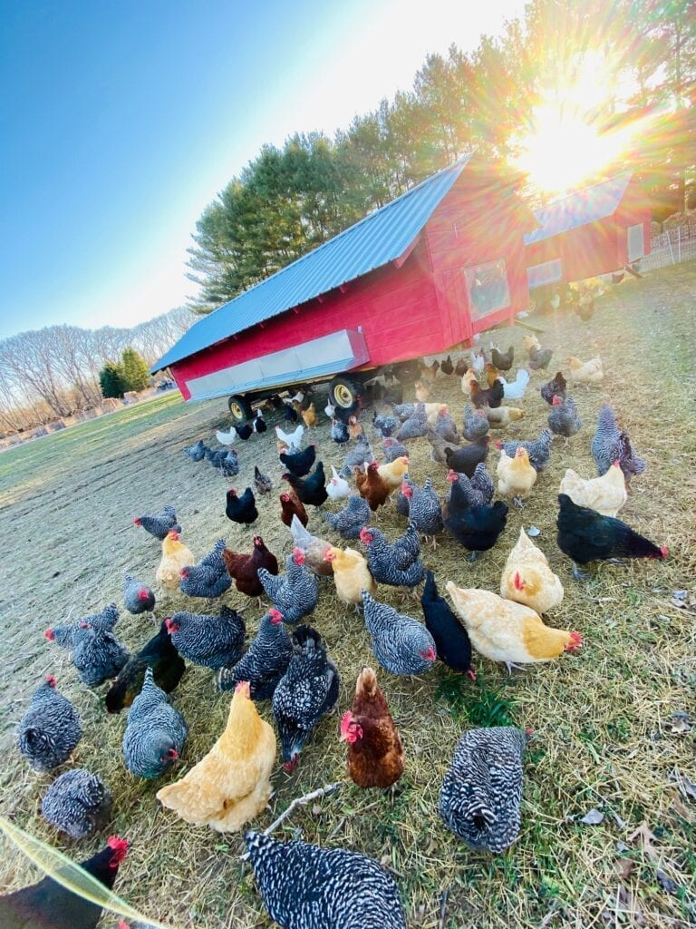 Chickens grazing on pasture at Marshall Farm
