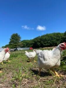 Pasture-raised chickens running at Marshall Farm