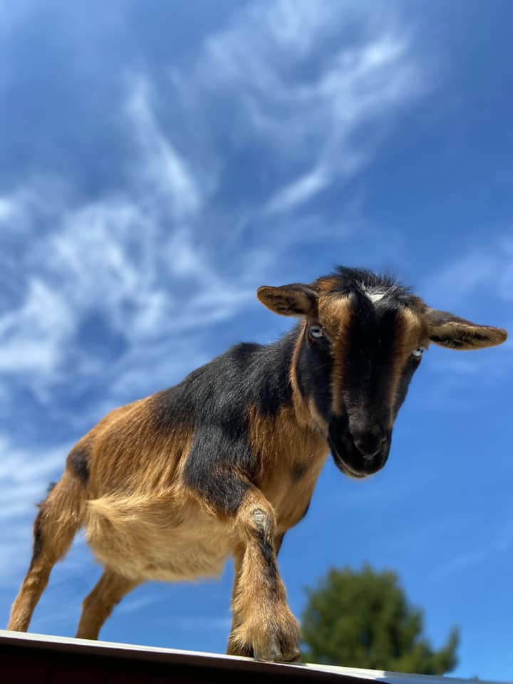 Goat standing with blue sky in background